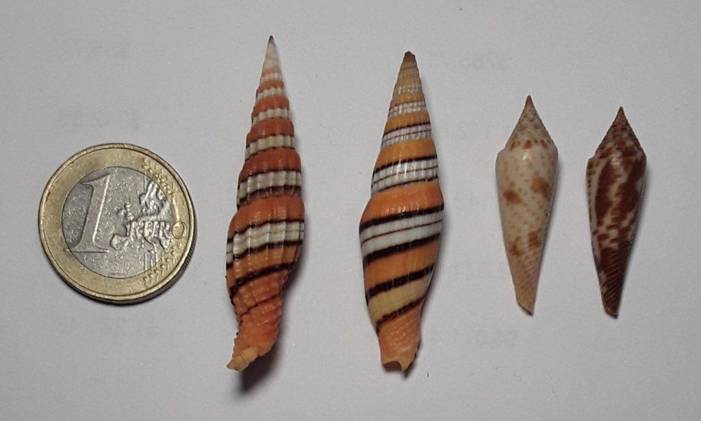 Shells of New Guinea